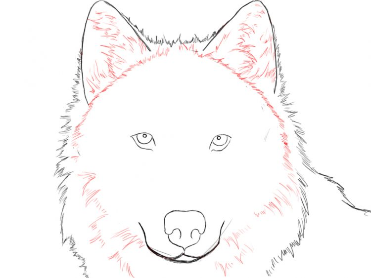 750x563 Drawing Arctic Wolf Easy Drawing Together With Wolf Drawing Easy