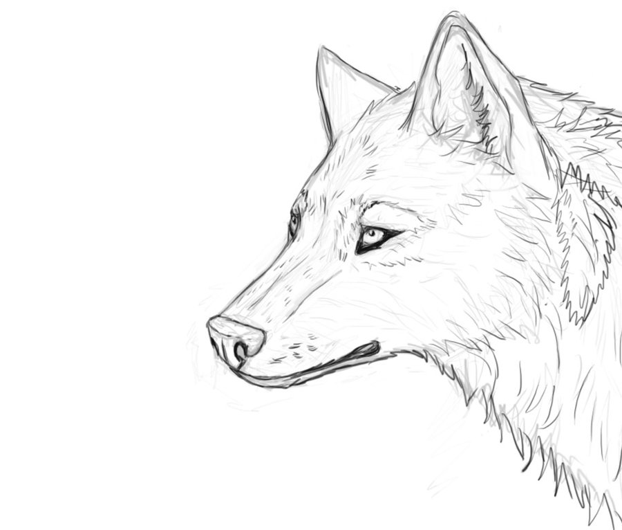 900x766 wolf39s head sketch ololo by wida smashing on deviantart