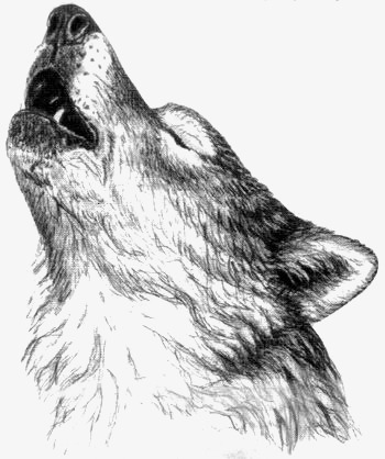 350x418 Wolf, Painted Wolf, Sketch Wolf, Howl Png Image And Clipart
