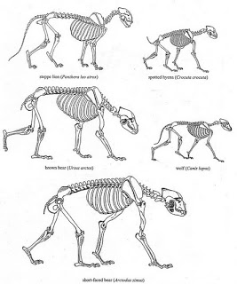 267x320 Shape of Skeletons compared for La Brea Lion, Spotted Hyena, Brown