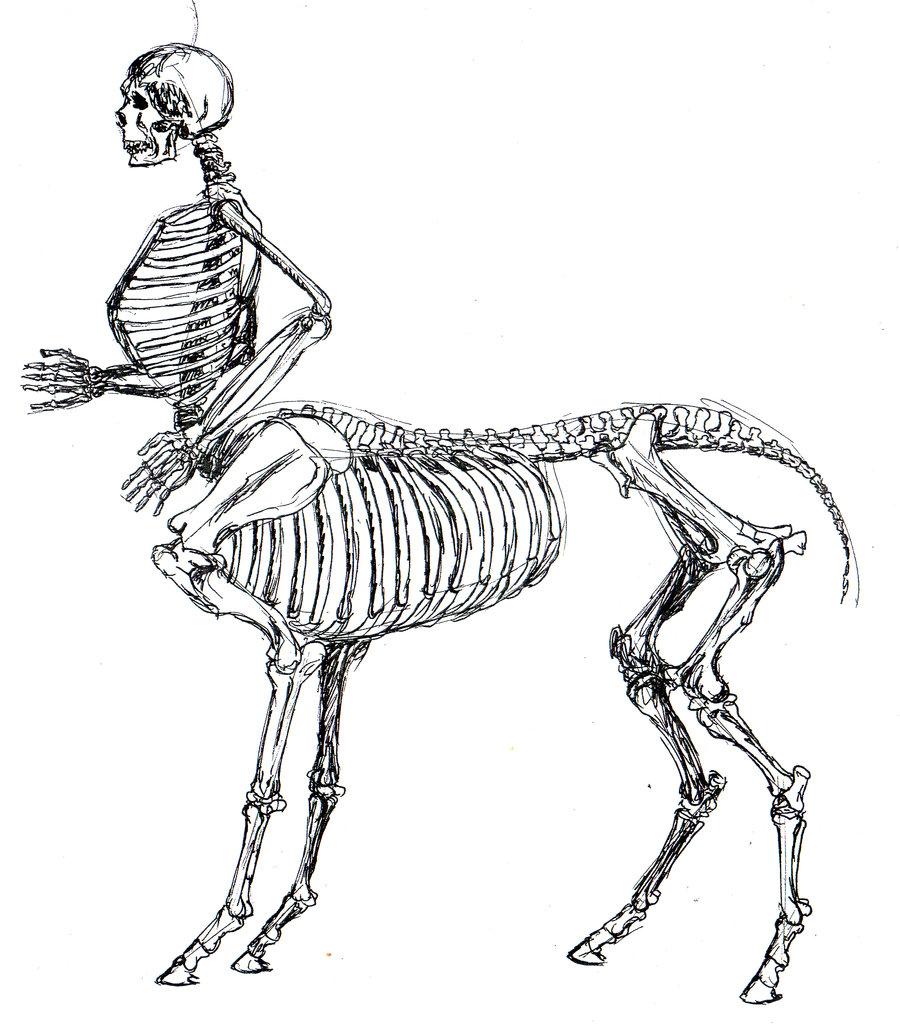 900x1029 Skeletal Centaur Anatomy study by tursiart on DeviantArt