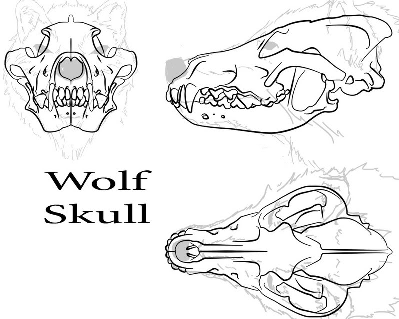 799x639 Wolf Skull By Andoo45.jpg Photo By Drewthewolf Photobucket