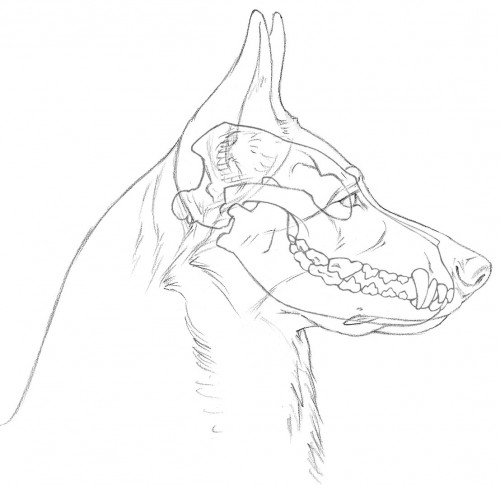 500x485 3 Skull With Teeth Side View Wolf And Dog Anatomy References