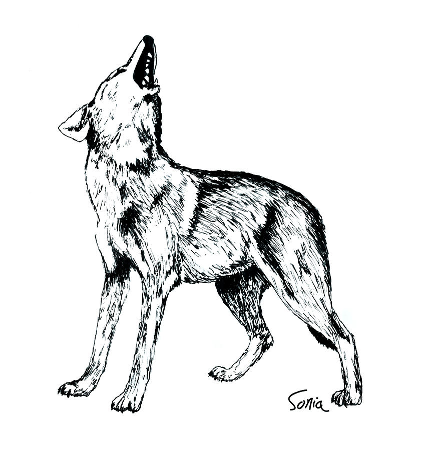 843x900 Wolf Howling Drawing By Sonia Wilkinson