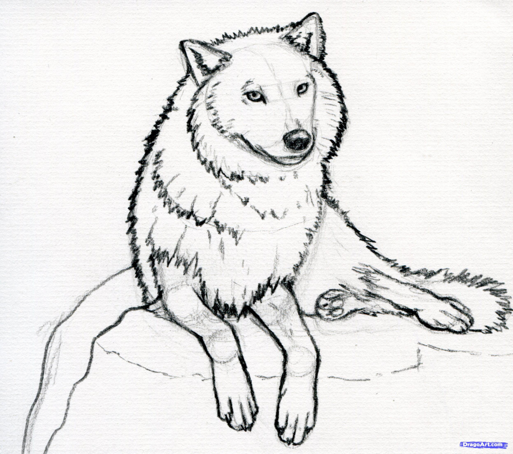 1024x905 How To Draw A Arctic Wolf How To Sketch A Wolf Arctic Wolf Step