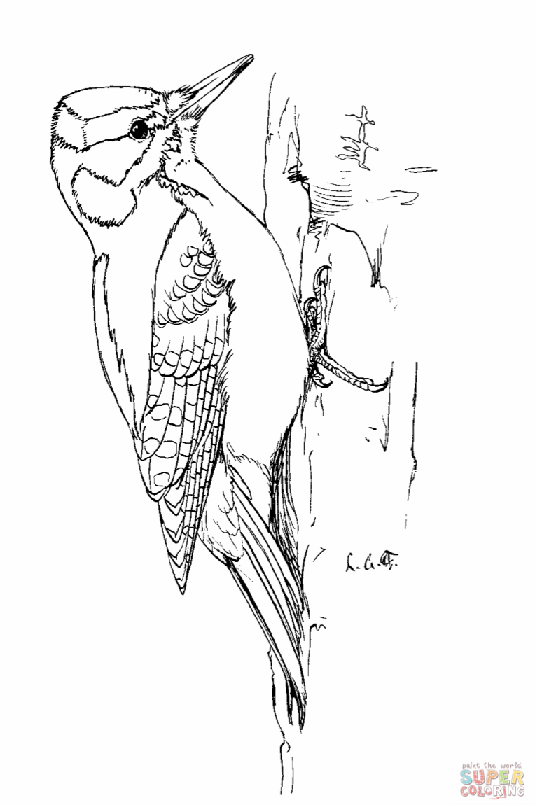 Woodpecker Drawing
