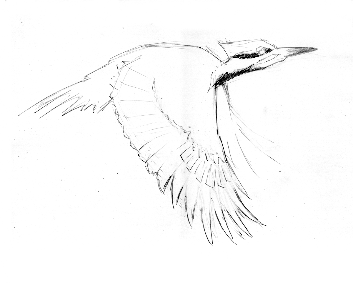 The Best Free Pileated Drawing Images Download From 27 Free