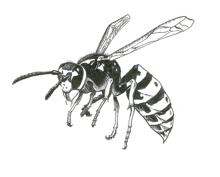 736x592 15 Best Yellowjacket Traps Images On Insects, Bugs
