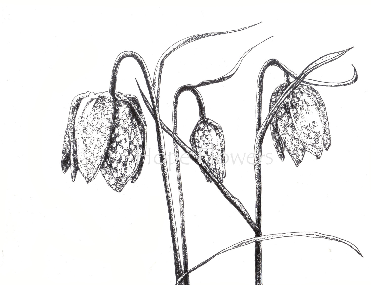 1500x1153 Tulip Drawing (Id 60616) Buzzerg