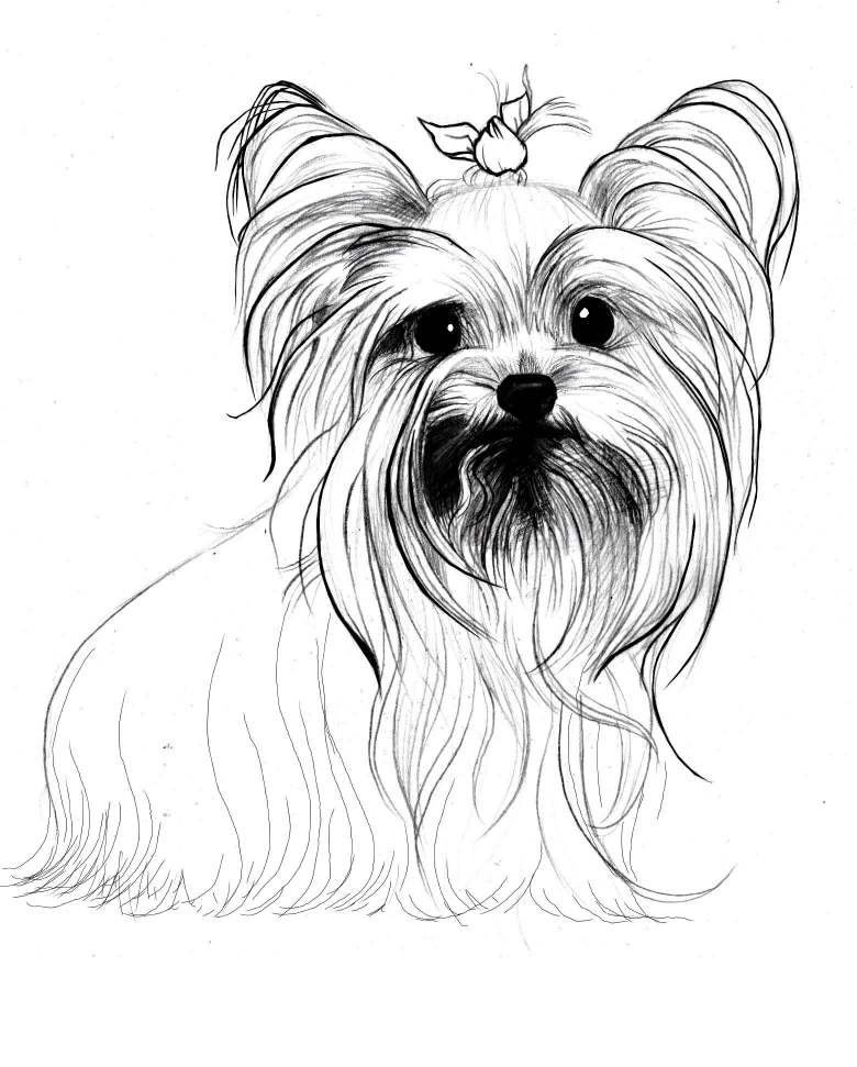 Line Drawing Of Yorkshire Terrier : Yorkie cartoon drawing at getdrawings free for