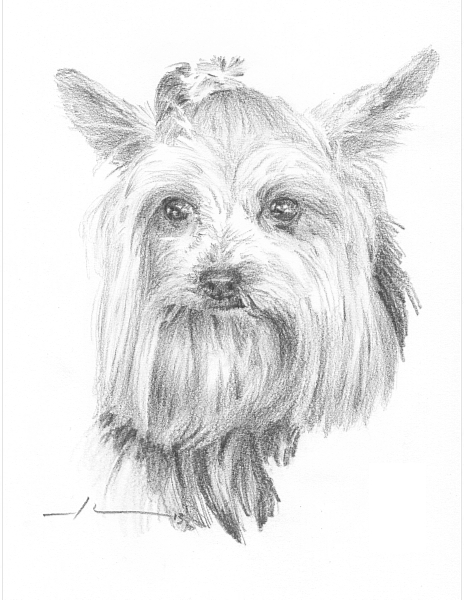 464x600 Yorkie Dog Drawing By Mike Theuer