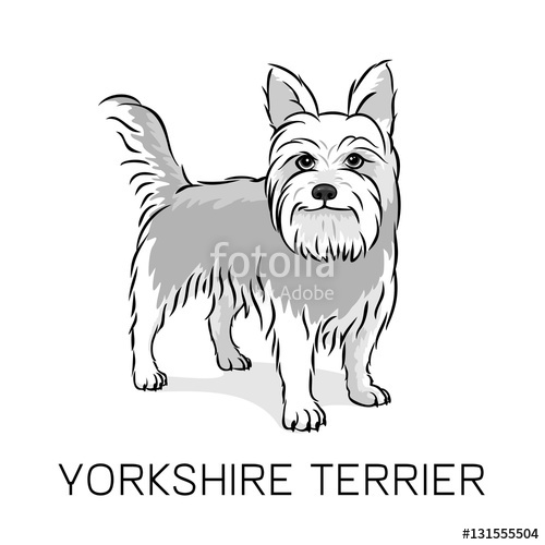 500x500 Yorkshire Terrier Dog Vector Illustration Stock Image And Royalty