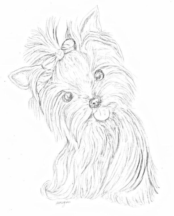 Yorkie Puppy Drawing