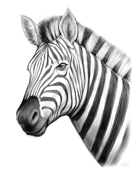 559x700 Zebra Drawing by Greg Joens