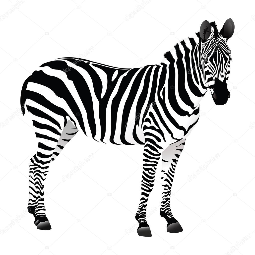 1024x1024 Balack and white Zebra — Stock Vector © cenkeratila