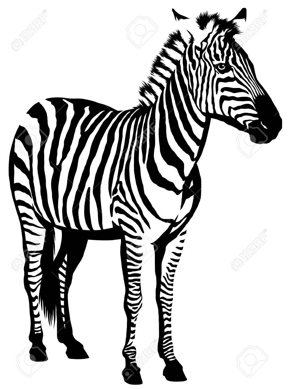988x1300 Black And White Linear Paint Draw Zebra Illustration Stock Photo