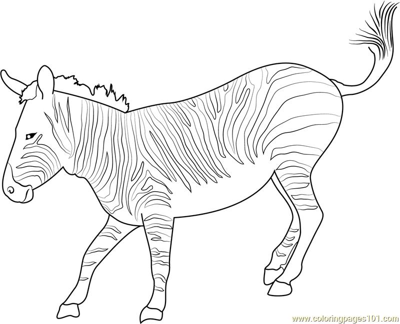 800x649 Mountain Zebra Coloring Page