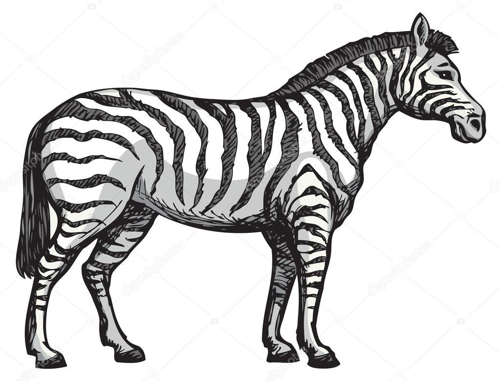 1024x782 Zebra. Vector Drawing Stock Vector Marinka
