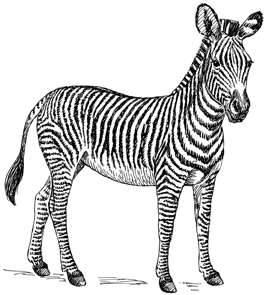 925x1024 Zebras In Public
