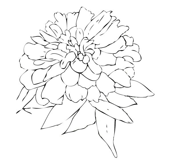 600x579 Zinnia Means Daily Remembrance And Thoughts Of An Absent Friend