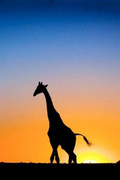 236x353 African Sunset Silhouettes African Sunset