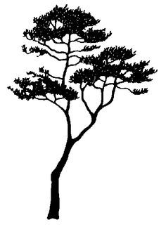 236x333 Silhouette Of The Tree Acacia