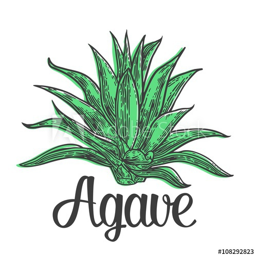 500x500 Cactus Blue Agave. Vintage Vector Engraving Illustration For Label