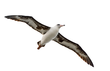 370x240 Albatross Photos, Royalty Free Images, Graphics, Vectors Amp Videos