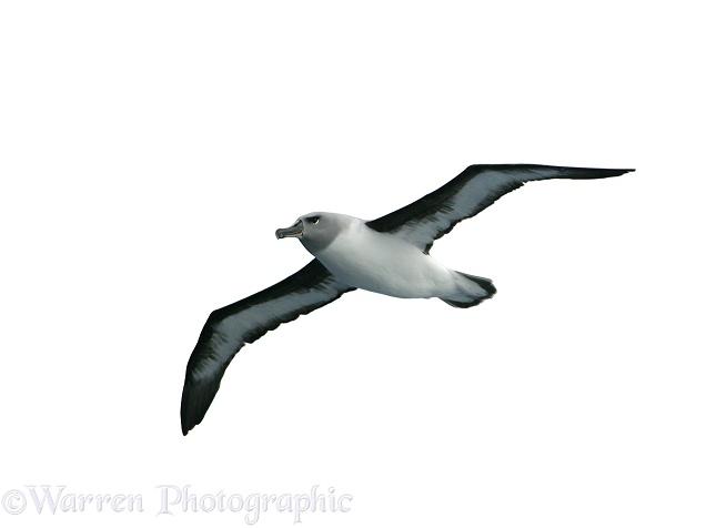 645x476 Grey headed Albatross photo WP14319