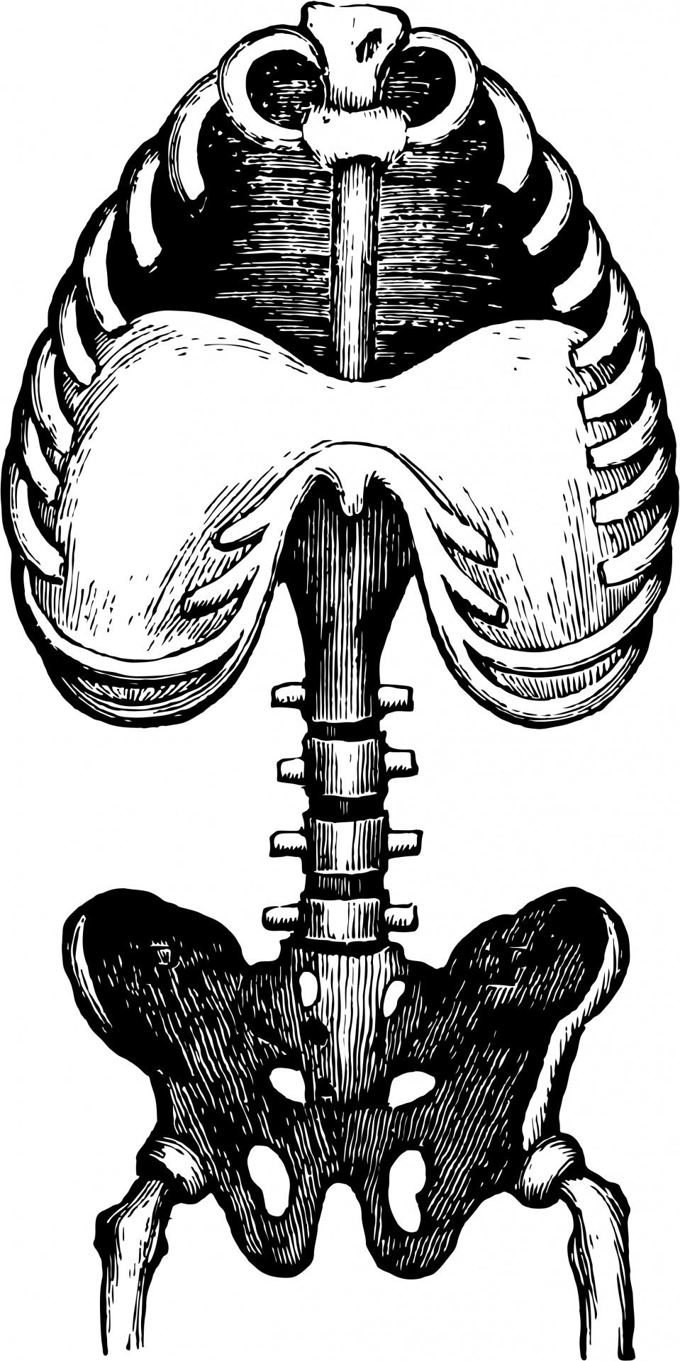 959x1920 Human Anatomy Public Domain Clipart