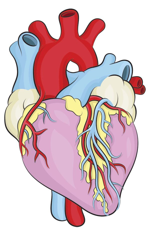 600x938 Blank Heart Chamber Clipart