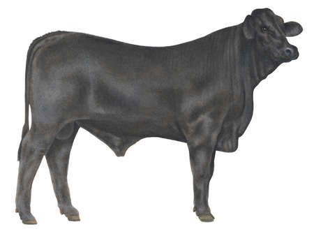450x338 Beef Clipart Angus Cow