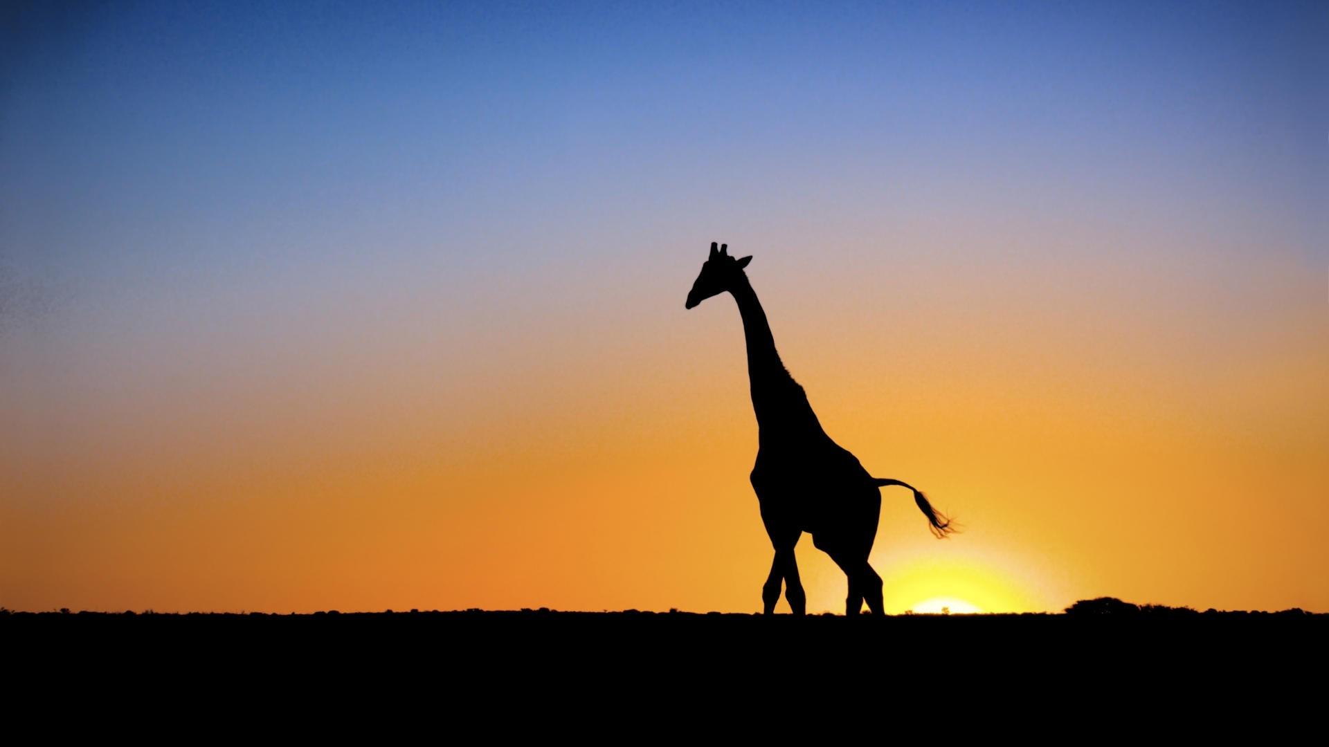 1920x1080 Sunset Animals Silhouette Giraffes 1920x1080 Wallpaper High