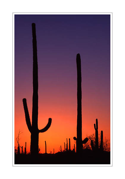 421x600 Saguaro Silhouettes, Saguaro National Park, Arizona