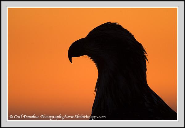 600x416 Bald Eagle Silhouette Photo, Sunset And Eagle Picture
