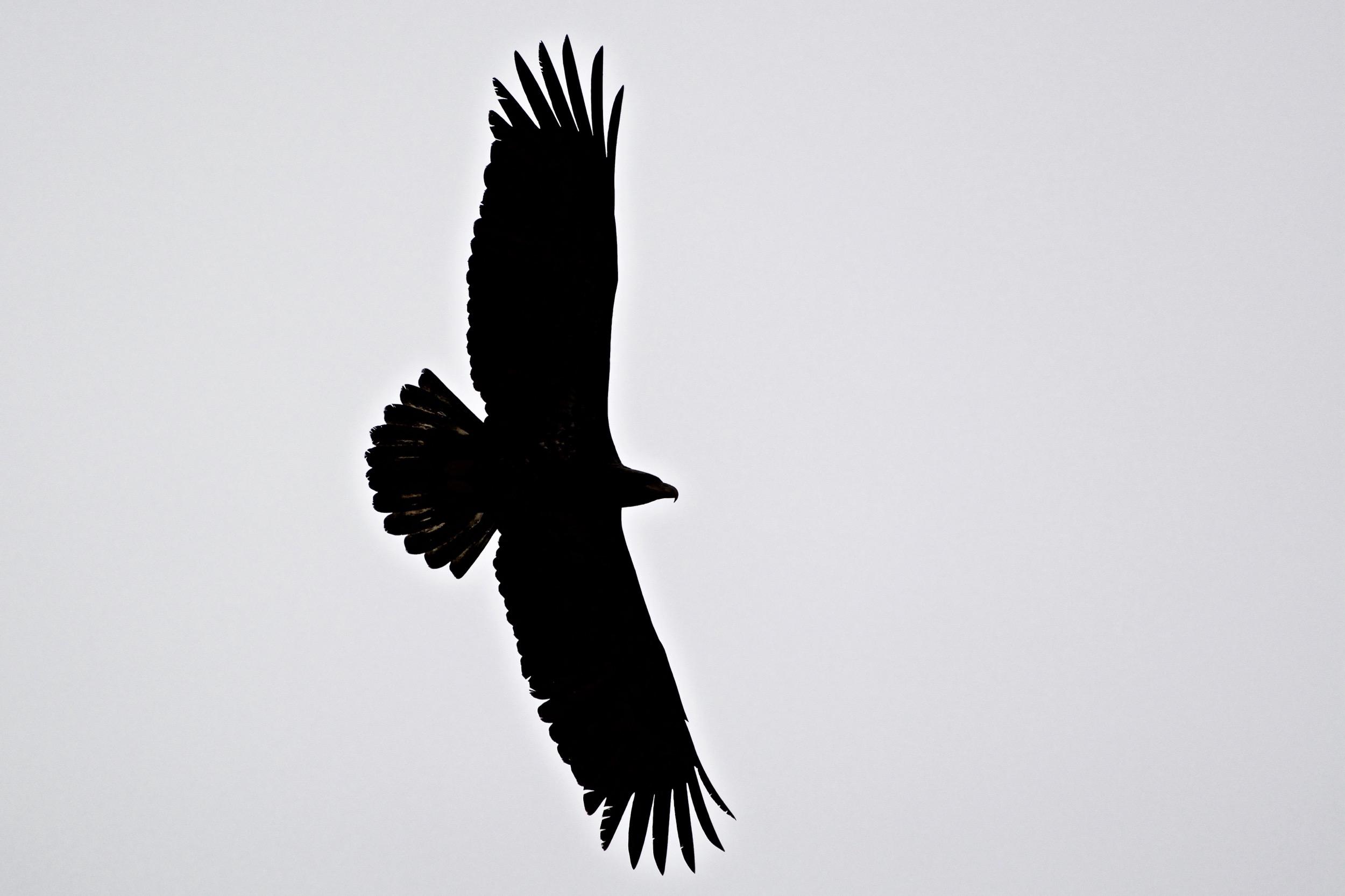 2500x1667 Bald Eagle Silhouette