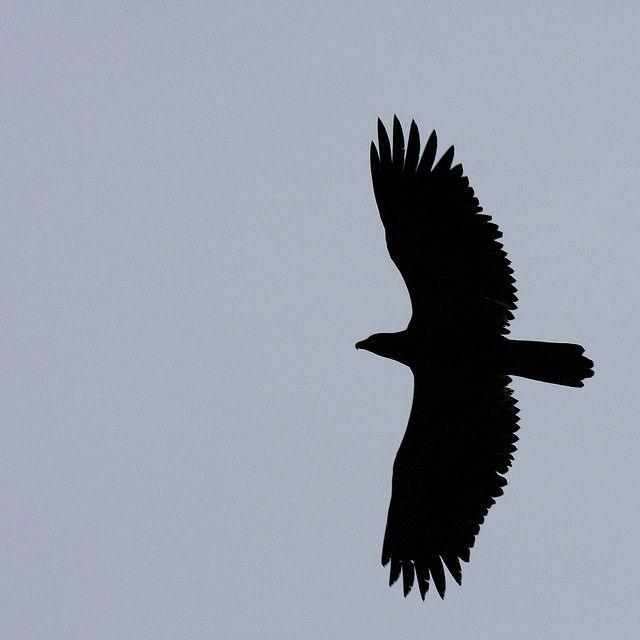 640x640 Immature Bald Eagle Silhouette Eagle Silhouette, Immature Bald