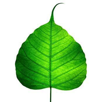350x350 Banyan Tree Leaf Drawing