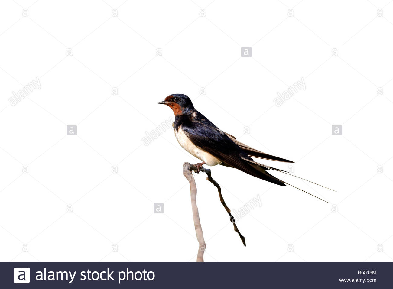 1300x956 European Barn Swallow Stock Photos Amp