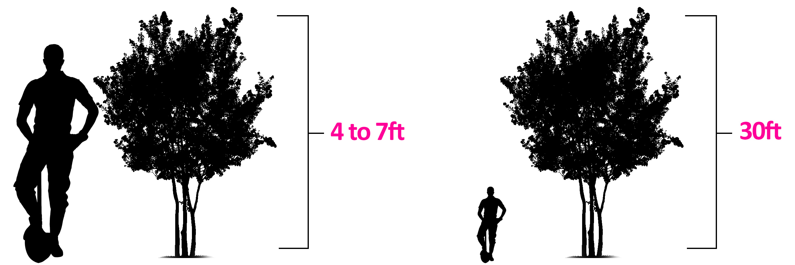 2618x875 Compare Amp Buy Top Crape Myrtle Trees Fast Growing Trees