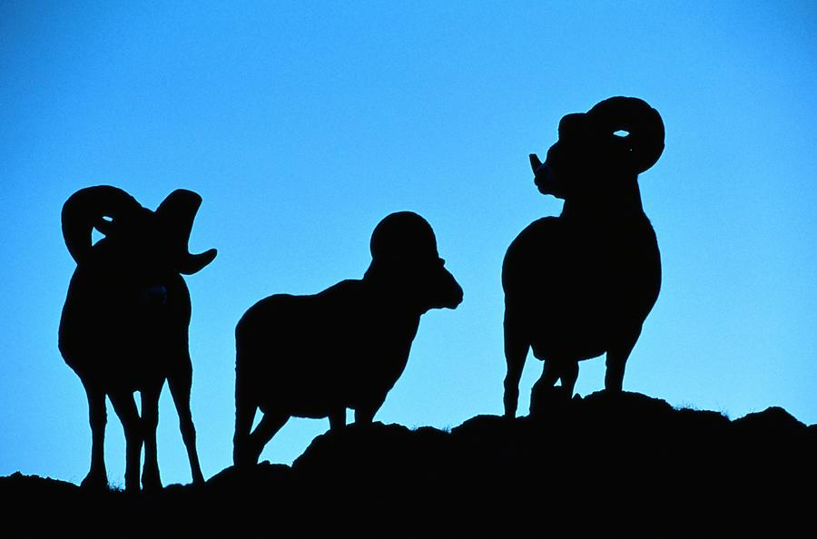 900x594 Silhouettes Of A Trio Of Bighorn Rams Photograph By Raymond Gehman