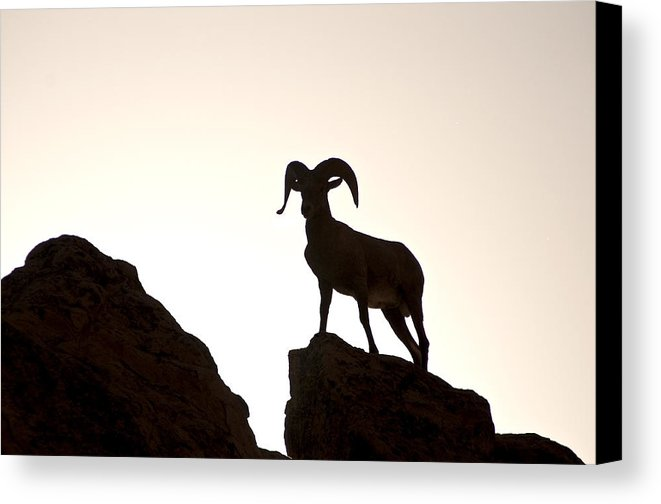 661x504 Bighorn Ram Silhouette Canvas Print Canvas Art By Lee Kirchhevel