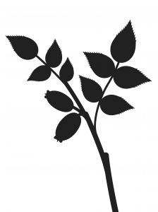 224x300 Rose Hip Silhouette Photo Free Download