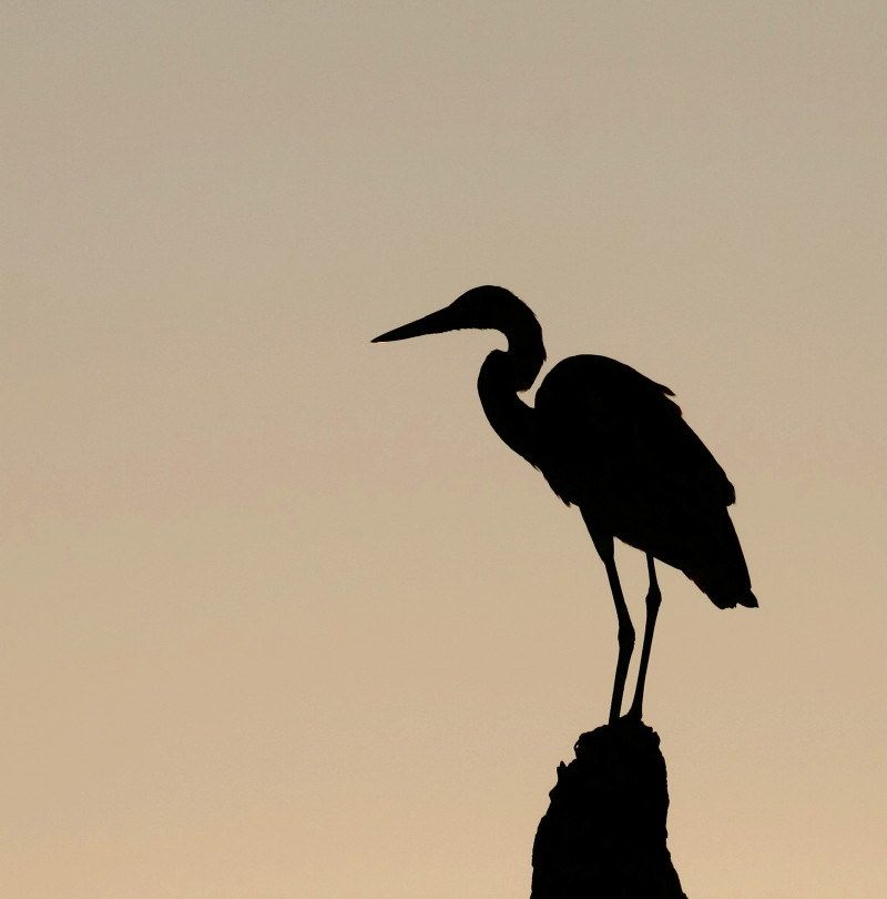 800x810 Image Result For Blue Heron Silhouette 3d Svg Designs