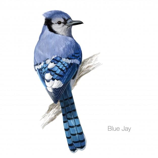 626x626 Blue Jay Bird Illustration Vector Premium Download