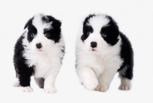 650x436 Two Dog Baby, Border Collie, The Dog, Pet Png Image And Clipart