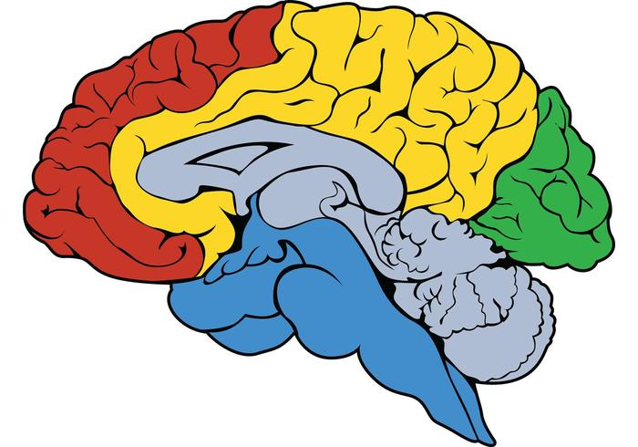 700x490 Brain Vector Free Vector Art