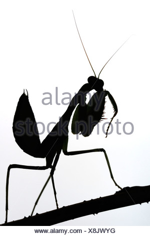 299x470 Praying Mantis Silhouette Stock Photo 61048169