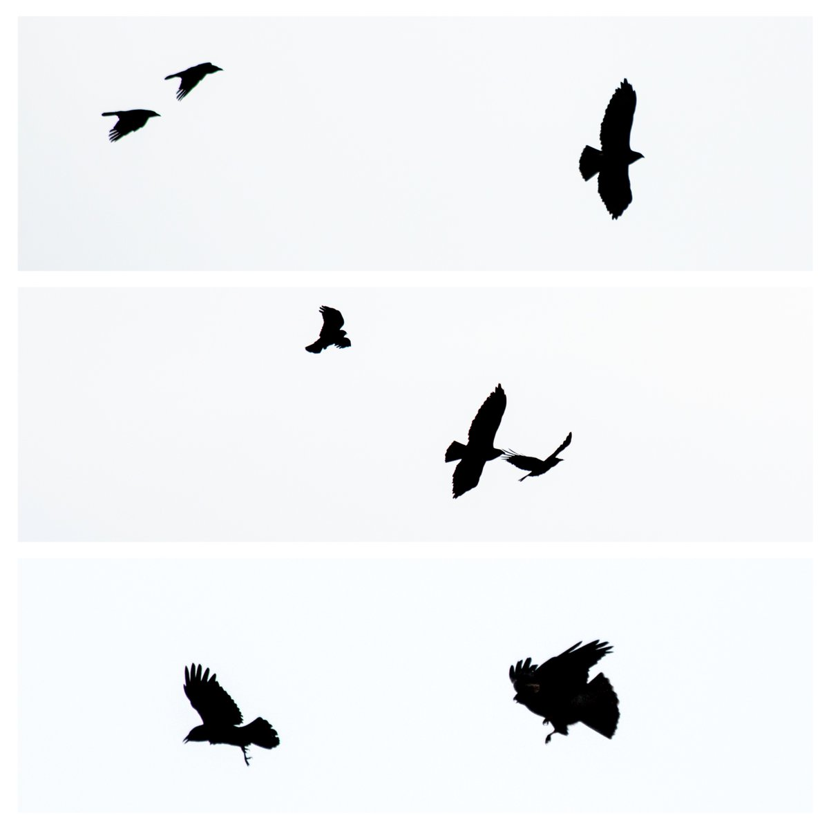 1200x1200 Rebeccabeusmansphoto On Twitter A Short Tale Of Crows V'S