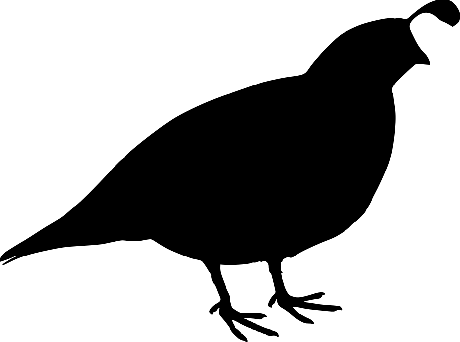 924x688 California Quail California Quail Drawing Clip Art